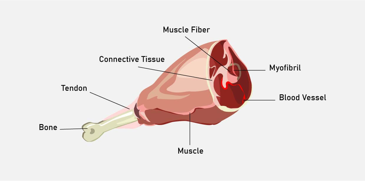 muscle meat composition illustration
